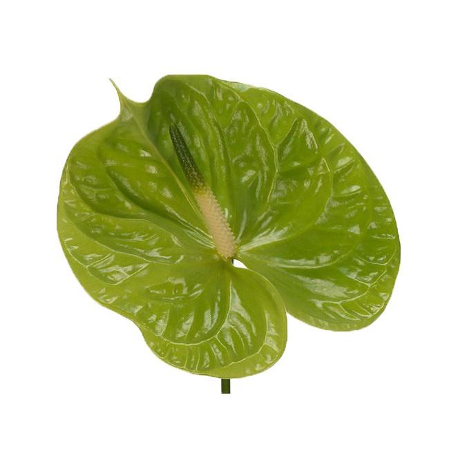 Fleur d'anthurium vert - France Fleurs