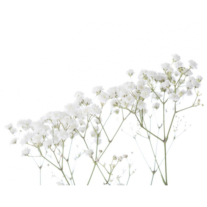 gypsophile perfecta petit prix bouquet gypsophile france fleurs. Black Bedroom Furniture Sets. Home Design Ideas