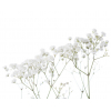 Gypsophile Perfecta (5 tiges) - France Fleurs