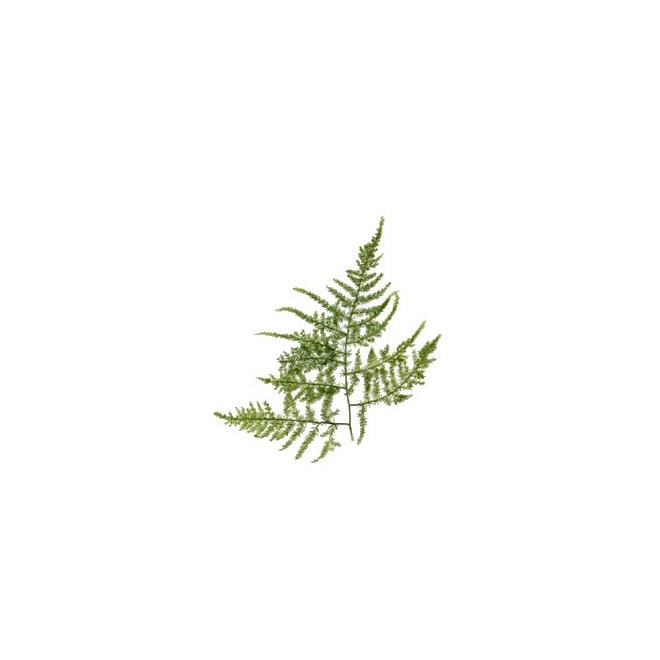 Asparagus plumosus - France Fleurs