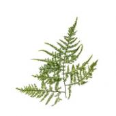 Asparagus plumosus (25 tiges)