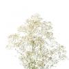 Gypsophile million star - France Fleurs
