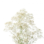 Gypsophile million star (25 tiges)