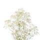 Gypsophile million star - France Fleurs