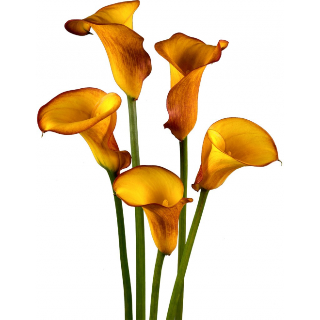 Calla orange , calla captain safari , France Fleurs