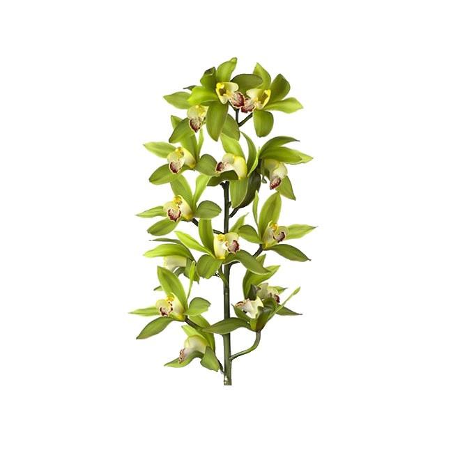 orchid e cymbidium vert pas ch re livraison fleurs france fleurs. Black Bedroom Furniture Sets. Home Design Ideas