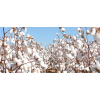 Bouquet de fleurs de coton - boule de coton naturelle - France Fleurs