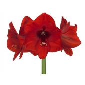 Amaryllis rouge (la pièce)