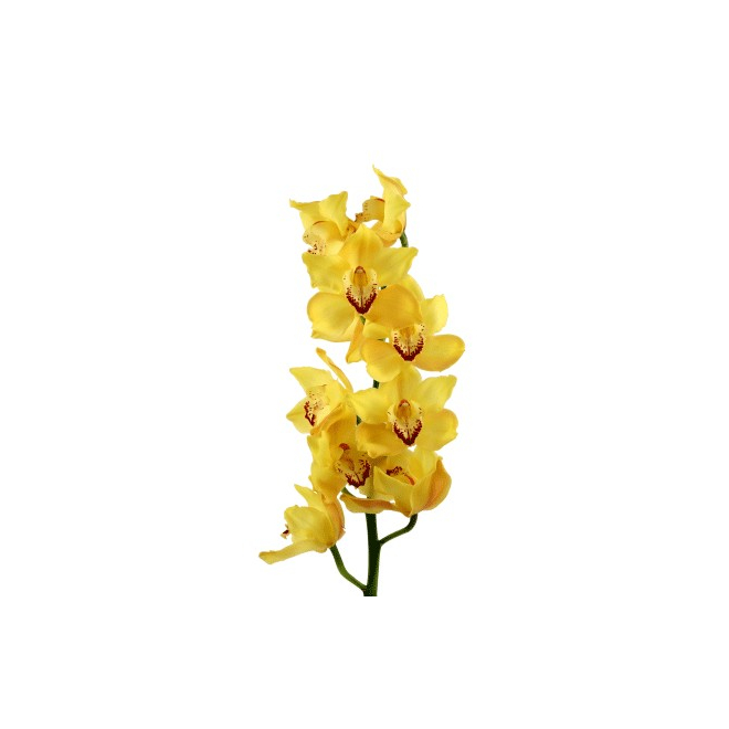orchid e cymbidium jaune pas ch re livraison fleurs france fleurs. Black Bedroom Furniture Sets. Home Design Ideas