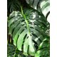 Philo Monstera (Grand -10 tiges)