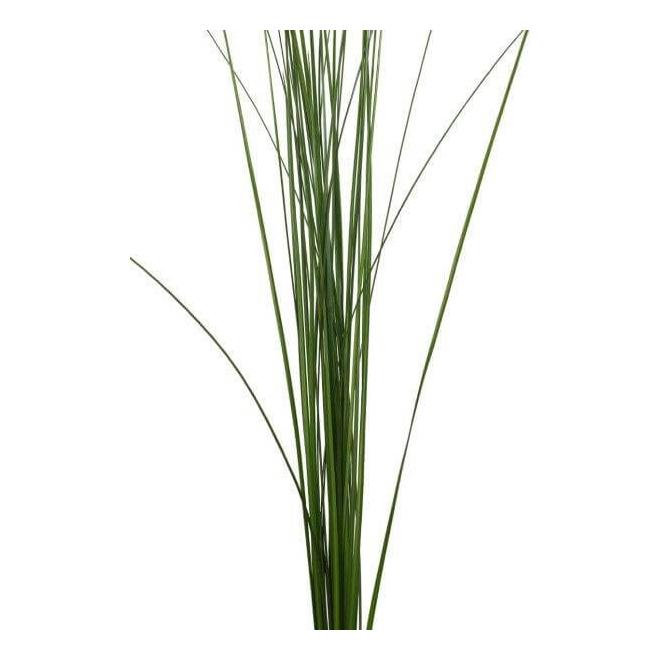 Steel grass (10 tiges) - France Fleurs