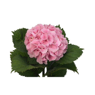 Hortensia rose pâle (5 tiges)