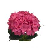 Hortensia rose fushia (5 tiges)