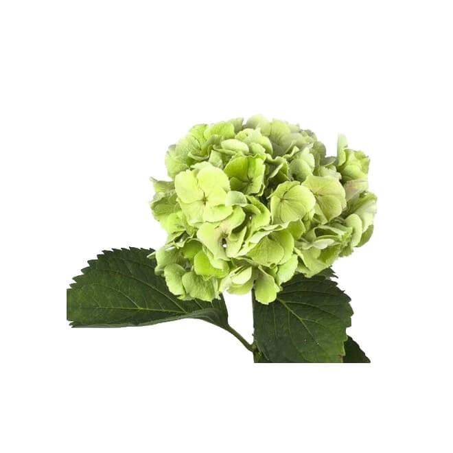 Hortensia vert (5 tiges) - Fleur coupée