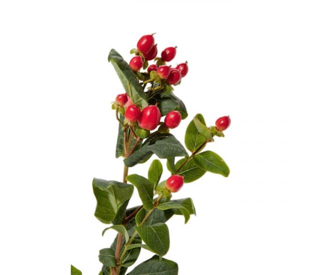 Hypericum rouge petit prix livraison fleurs mariage for France fleurs