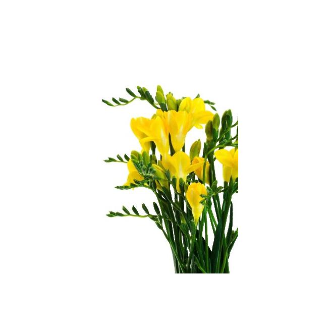 Freesia jaune (10 tiges)