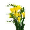 Freesia jaune (10 tiges)