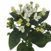 Bouvardia blanc - Fleur Mariage - France Fleurs