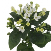 Bouvardia blanc (10 tiges)