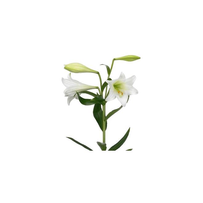 lys longiflorum pas cher livraison fleur mariage france fleurs. Black Bedroom Furniture Sets. Home Design Ideas