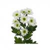 Santini blanc - France Fleurs