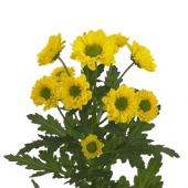 Santini jaune (5 tiges)