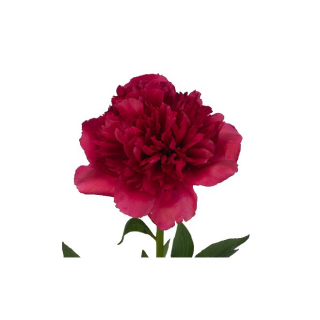 Pivoine fuschia(10 tiges)