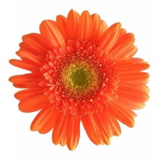 Gerbera rouge (25 tiges)