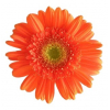 Gerbera orange (15 tiges)