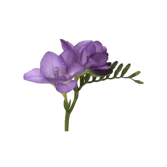 Freesia violet (10 tiges) - France Fleurs