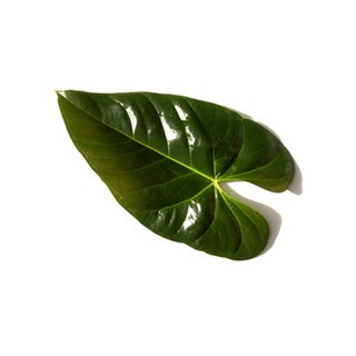 Feuille d'anthurium (10 tiges) - France Fleurs