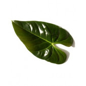 Feuille anthurium (10 tiges)