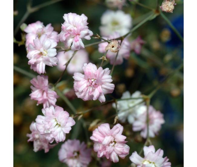 Gypsophile rose livraison fleurs mariage france fleurs for Livraison rose