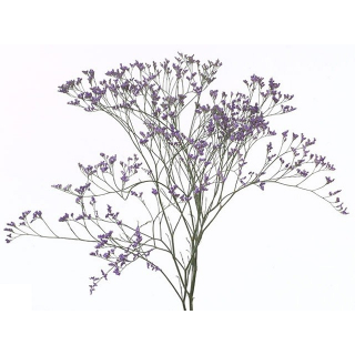 Limonium Violet (25 tiges)