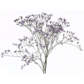 Limonium Violet (5 tiges)