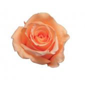 6 roses éternelles pêche