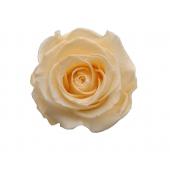 16 roses éternelles crème