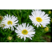 Aster blanc (5 tiges)