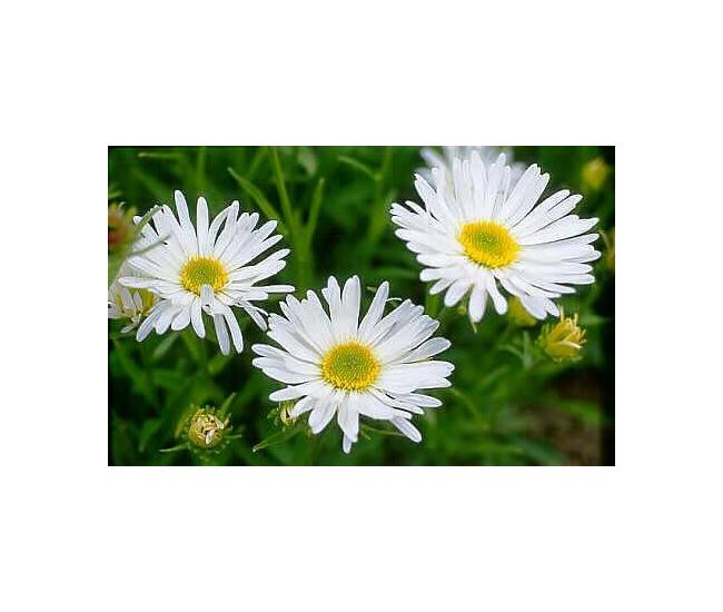 Fleurs d 39 aster pas ch re livraison fleurs france fleurs for Fleur pas chere a planter