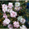Gypsophile Excellence rose