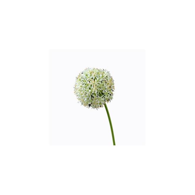 Allium violet - fleurs d'allium - France Fleurs