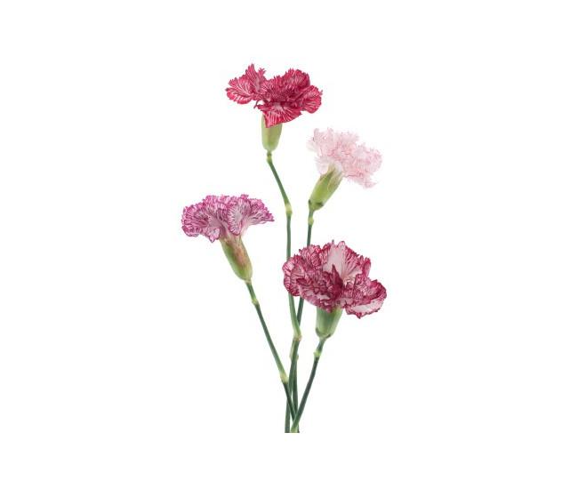 Mini oeillet petit prix livraison fleurs coup es - Calendrier des fleurs coupees ...