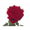 Rose Red Naomi (10 tiges)