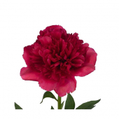 Pivoine fuschia (10 tiges)