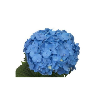 Hortensia bleu (5 tiges) - France Fleurs