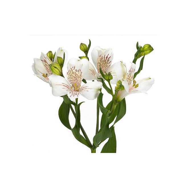 alstroemeria blanc livraison lys des incas france fleurs. Black Bedroom Furniture Sets. Home Design Ideas