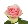 Rose La Belle (20 tiges)