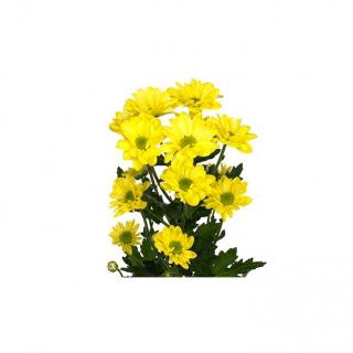Alvéolé jaune - livraison fleurs coupées - France Fleurs