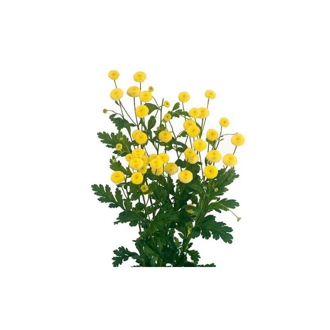 Matricaire jaune (25 tiges)