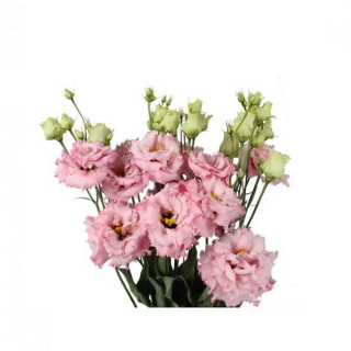 Lisianthus frisé rose (10 tiges)